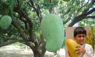 হাজার টাকায় বিক্রি হচ্ছে 'নূরজাহান আম'
