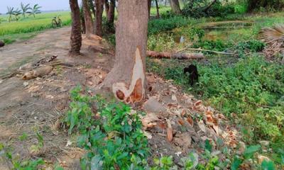 কালীগঞ্জে প্রভাবশালী কর্তৃক রাস্তার সরকারি গাছ কেটে সাবাড়