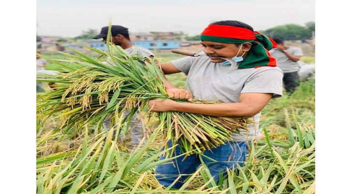 রোজা রেখে দরিদ্র কৃষকের  ধান কেটে দিল গাজীপুর মহানগর ছাত্রলীগ