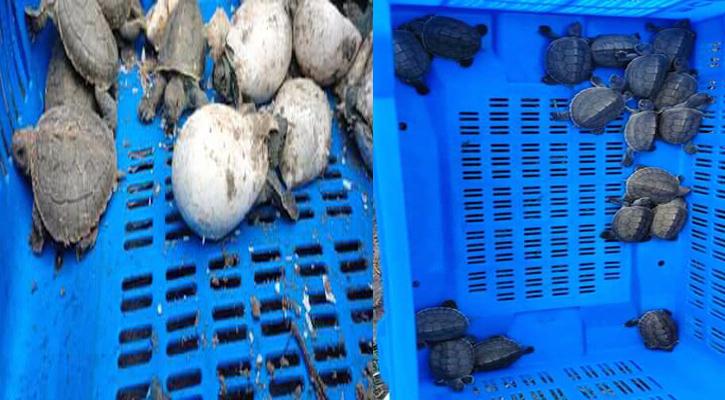 সুন্দরবনে আবারো বাটাগুর বাস্কা কচ্ছপের ৩৭টি বাচ্চা ফুটেছে