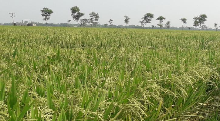 ধামইরহাটে দিগন্ত জুড়ে সোনালী ধানের ঝলকানী