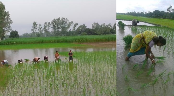 তেঁতুলিয়ায়া করোনা দুর্যোগের মাঝেও ব্যস্ত সময় কাটাচ্ছেন কৃষকরা